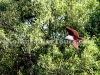 Brahminy kite at Sundarban