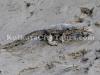 Sundarban monitor lizard