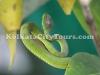 Sundarban snake