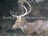 Deer at Zoological Garden, Kolkata