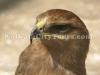 Eagle at Kolkata Zoo