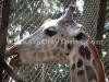 Giraffe at Zoological Garden, Kolkata