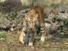 Royal Bengal Tiger at Alipore Zoo, Kolkata