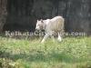 White Tiger at Alipur Zoo